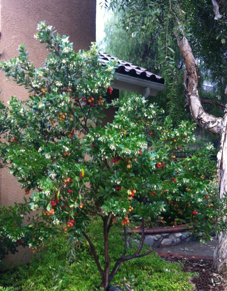 Dwarf Strawberry Tree - Monrovia - Dwarf Strawberry Reaches 6 to 8 ft. tall, 5 to 6 ft. wide in ten years; slightly larger with age.Tree