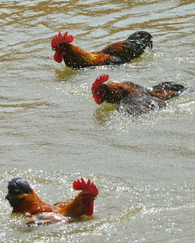 Swimming roosters . .  I've never seen this happen before!!