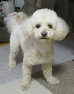 Bichon Poodle Haircuts Bing Images Poodle Haircut