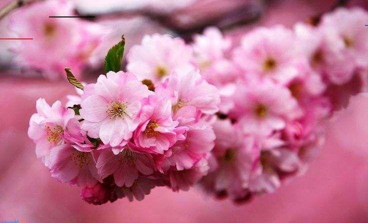 Wow 30 Contoh Lukisan Bunga Sakura Sederhana Gambar Bunga Sakura Saat Musim Semi Bunga Sakura Saat Downl In 2020 Girl Wallpaper Most Beautiful Wallpaper Wallpaper