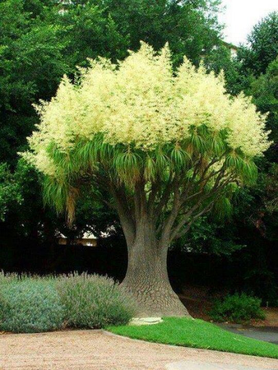 Ponytail Palm. Looks like a Dr. Seuss plant!
