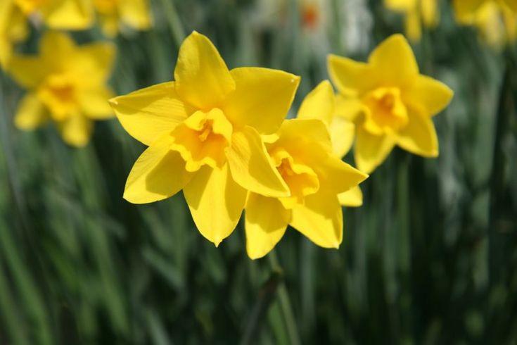 کاشت گل نرگس-- در فصل پاییز از اوایل آبان ماه زمان مناسبی برای کشت پیاز نرگس است.  پس از تهیه پیاز و یک گلدان کوچک با دهانه ۱۰ سانت ترکیبی از خاک (پیت ماس+کوکوپیت +پرلیت) تهیه کنید. مقداری ماسه ترجیحا ماسه بادی تهیه کنید. به جای ماسه از خاک سبک نیز میتوان استفاده کرد.  دقت کنید گلدان زهکشی خوبی داشته باشد.ماسه را در کف گلدان تا حدود ۳ سانت پر کنید.پیاز را روی ماسه قرار دهید و روی آن را با ترکیب خاک بپوشانید به نحوی که نوک پیاز مماس با سطح خاک باشد.  گلدان را به محلی سرد مانند تراس یا بیرون…