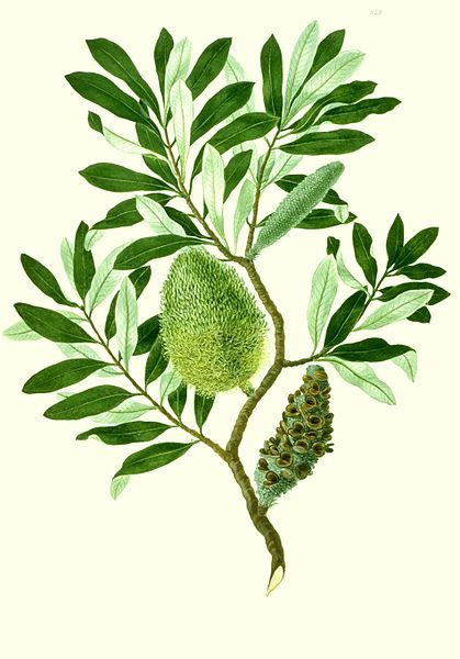 Banksia integrifolia watercolour from Banks' Florilegium. - Sydney Parkinson (c. 1745 – 26 January 1771) was a Scottish Quaker, botanical illustrator and natural history artist.