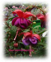 Комнатные растения для души и настроения: Фуксия: условия выращивания в квартире, или нежный...