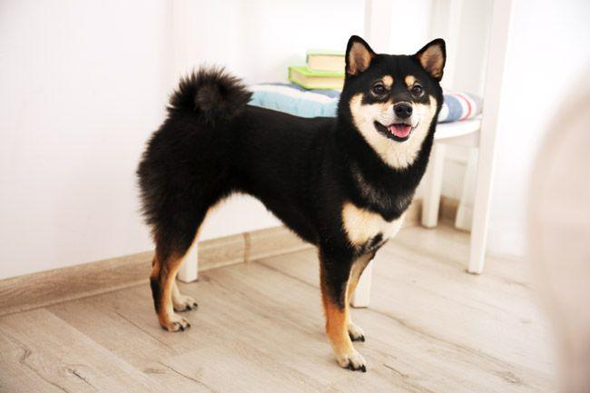 Shiba Inu Eine Japanische Hunderasse Shiba Inu Welpen Shiba Inu Hunde