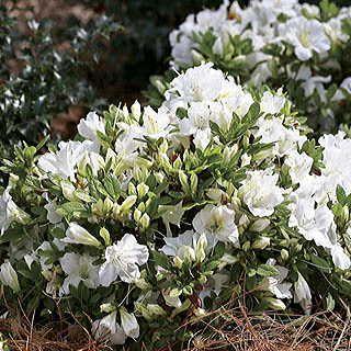 Evergreen, cold hardy, heat tolerant, self-deadheading . . . nothing stops this lovely white Azalea!