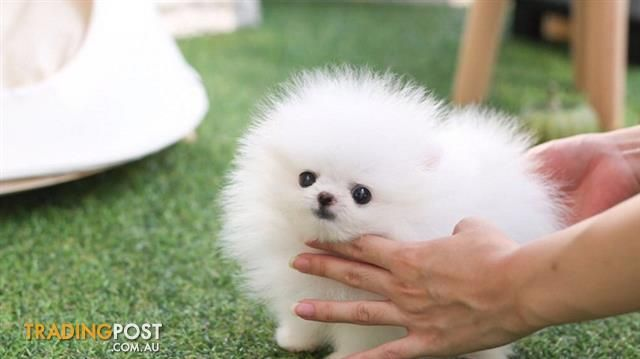 Fabulous Ice White Tea Cup Pomeranian Puppies For Sale In