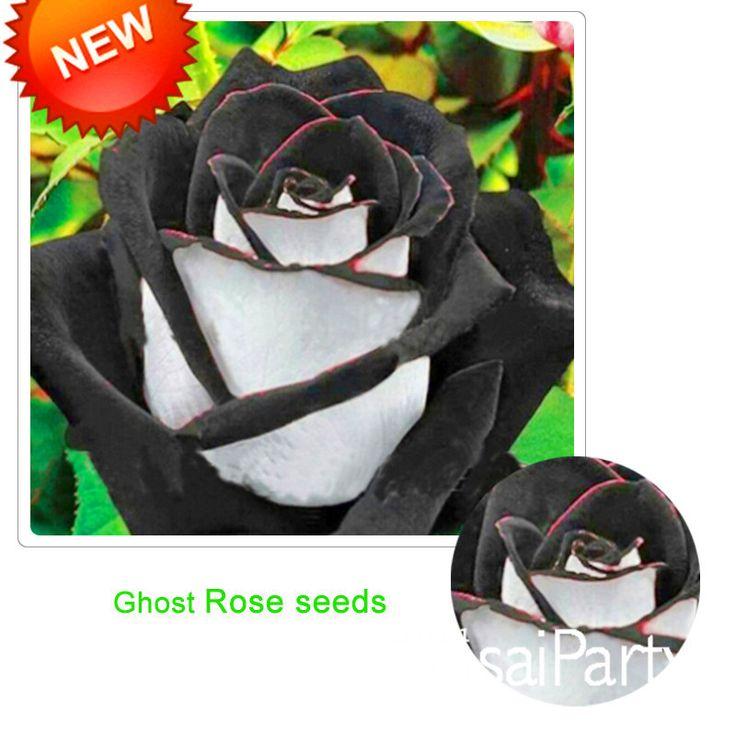 Yeni Tohumları 2015! Nadir Beyaz Siyah Kenar Gül Tohumları Ev Bahçe için Bitkiler Saksı Gül Çiçek Tohumları Balkon 100 Adet/paket, # 4O7FVK(China (Mainland))