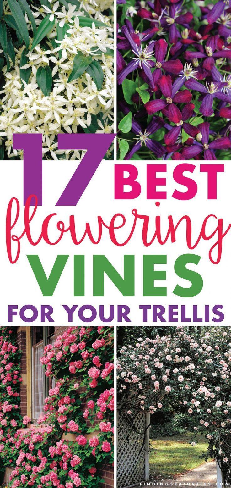 17 Vibrant Flowering Vines For Your Arbor Trellis Or Pergola Finding Sea Turtles Flower Trellis Flowering Vines Trellis Plants