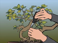 """The Bonsai tree needs regular pruning to maintain its shape and to shape it to a desired style. There are two types of pruning: Maintenance pruning, which """"maintains"""" the shape of the tree by encouraging the plant to grow more shoots and..."""