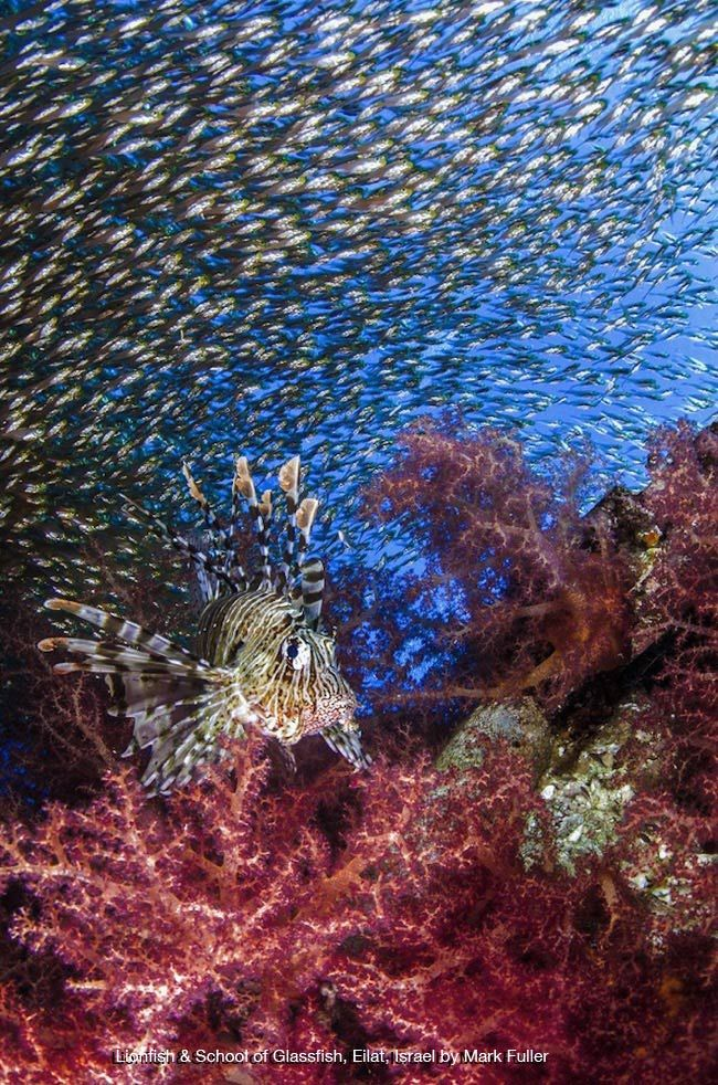 Lionfish and School of Glassfish, Eilat, Israel by Mark Fuller l #underwaterphotographycontest #universityofmiami