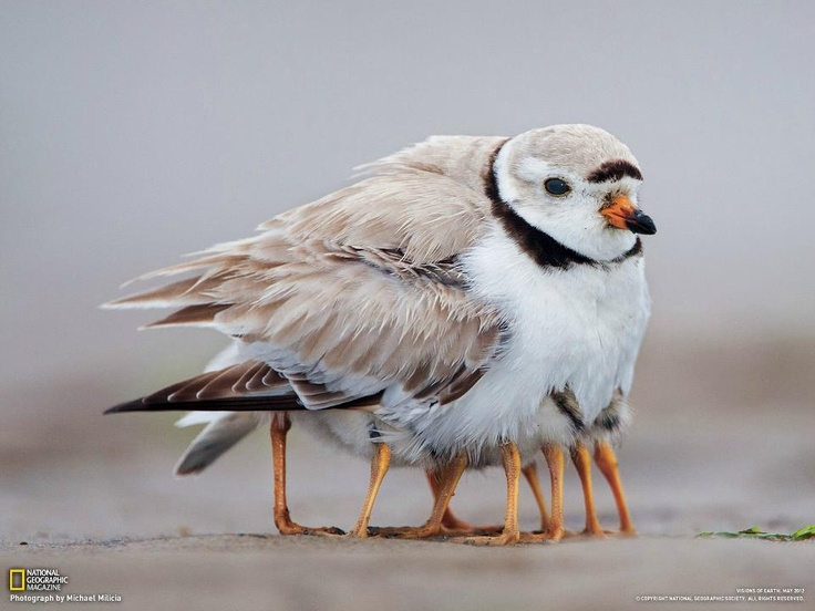 too cute: Mothers, Funny Animal Pictures, Animal Photo, Wings, Legs, Baby, Pipes Plover, Birds, Feathers Friends