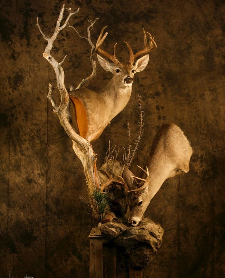 316 Best Images About Whitetail Mounts On Pinterest