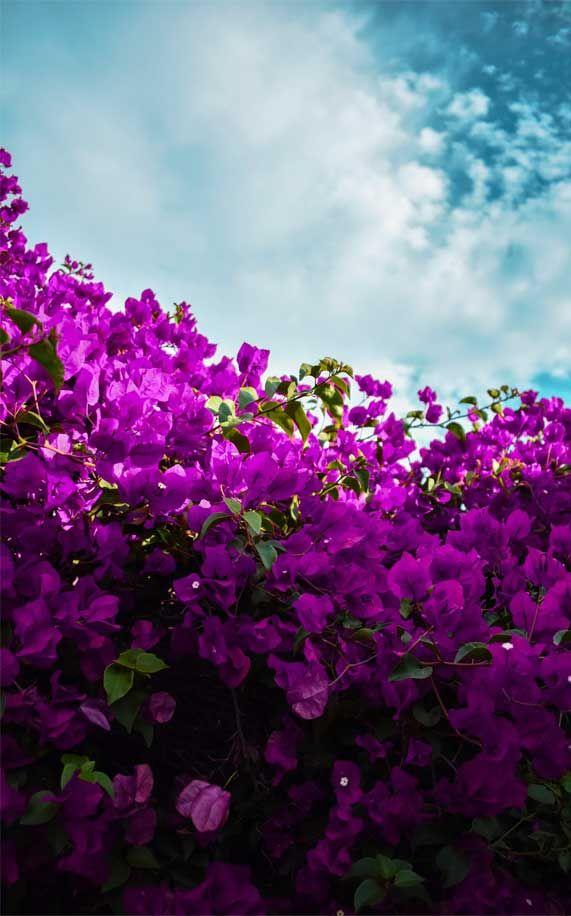Bright Purple Flowers Blue Sky Iphone Wallpaper Iphone Background Purple Flower Contrasts Sky Ipho Purple Wallpaper Hd Flower Backgrounds Purple Wallpaper