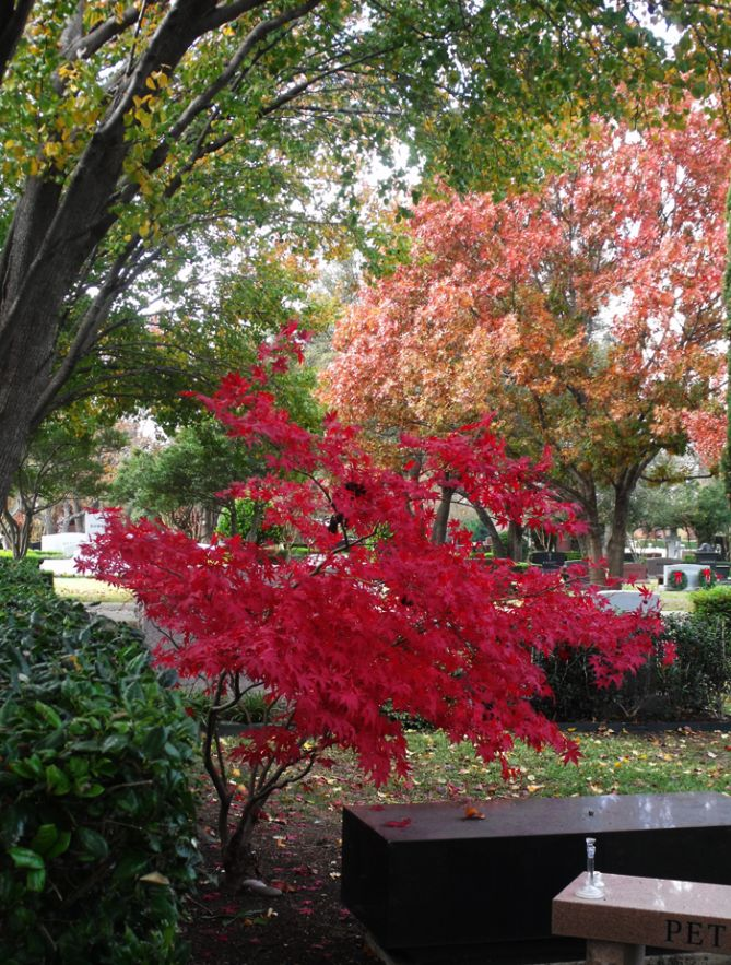 One thing I know for sure is that I've gotta have a Japanese maple in my yard. <3