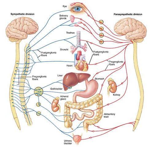 Autonomic Nervous System Poster    x