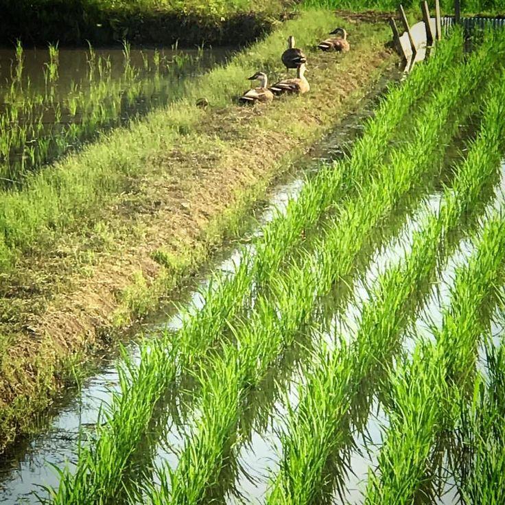 いいね!103件、コメント1件 ― @naturalwarmthのInstagramアカウント: 「. 田植えの終わった畑の畦道に . 野生の鴨の姿が。凄い〜♪ . #ここは大阪#懐かしい風景 #slowlifestyle #naturalbeauty #田植えの季節#身近な自然…」