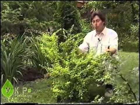 черенкование Декоративные кустарники: уход и выращивание