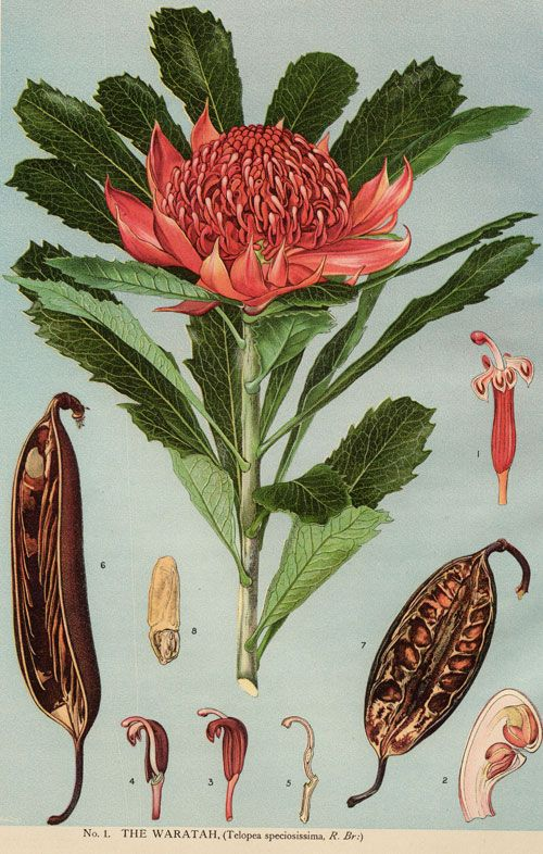 Telopea speciosissima - Waratah - Wikipedia, the free encyclopedia