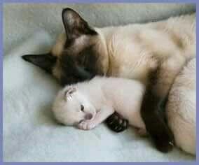 Siamese kittens are born white.