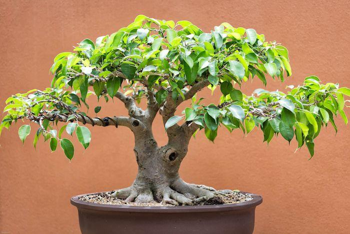 9 best entretien du bonsai images on pinterest gardening tips and ficus. Black Bedroom Furniture Sets. Home Design Ideas