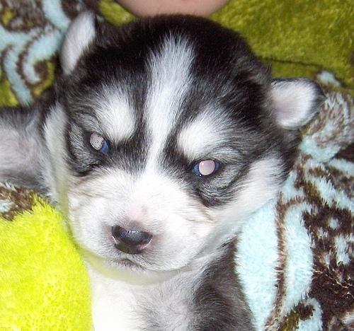 angry puppy | bears & huskies | Pinterest