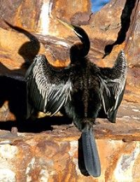 Australian Darter, male, drying its wings - Photographers: K Vang and W Dabrowka © Bird Explorers