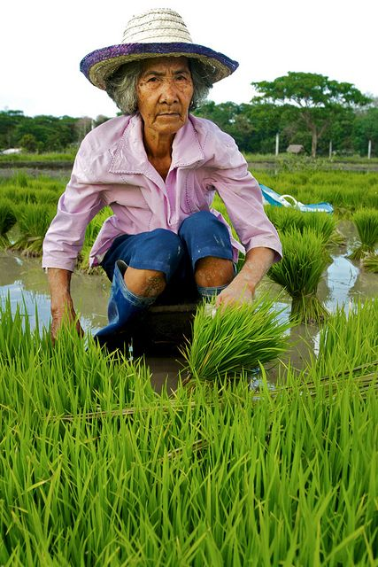 Bagabag Rice Fields - Luzon, Philippines