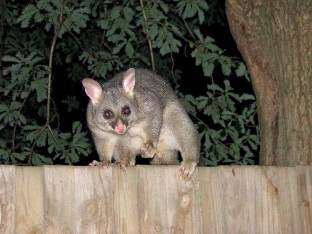 Opossum - Australie (NZ)