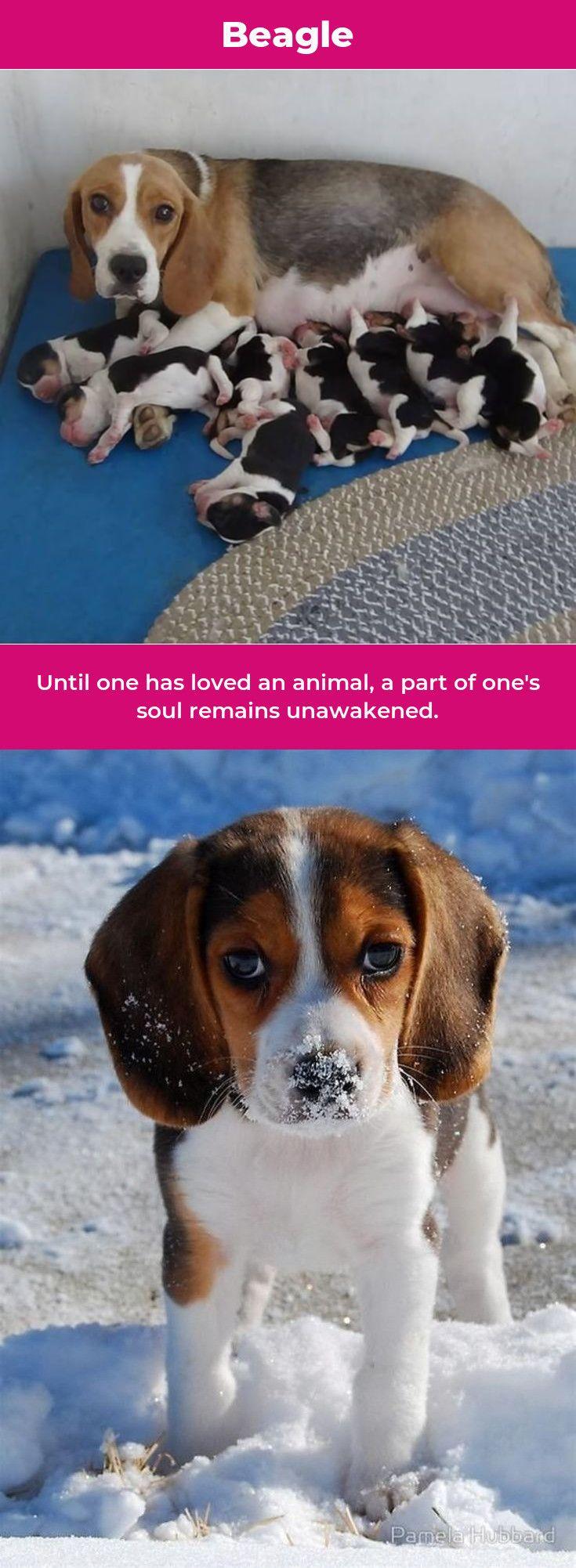 Beagle Puppy Beaglesofinstagram Beagles Memes