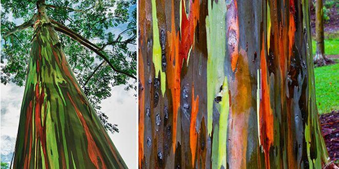 Você Sabia ? Eucalipto Arco-íris está entre as 14 árvores mais linda do Mundo | Araucária Ecoturismo