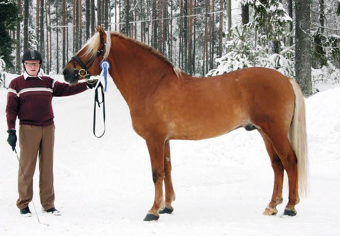 Finnhorse stallion Kospel