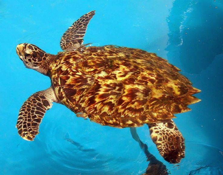 Linda tartaruga de pente. #tartaruga #pente #quelonio #oceano #linda #turtlle #wonderful #beautiful #biologia #biology #ocean