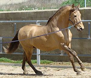 black pearl (homozygous) - PRE Andalusian stallion Avispado XVIII - registered as champagne, though champagne gene doesn't exist in purebred PREs