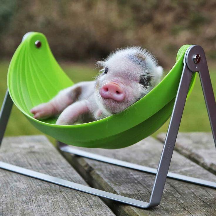 54 besten schwein bilder auf pinterest kleine schweine ferkel und nutztiere. Black Bedroom Furniture Sets. Home Design Ideas