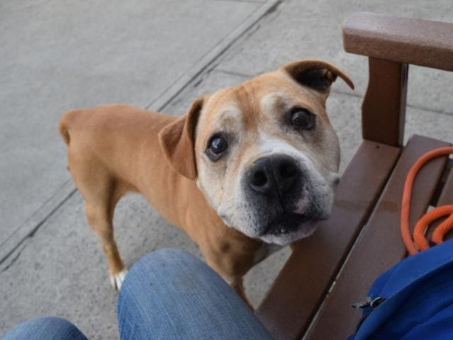 AL - A1097610 - - Brooklyn Please Share:TO BE DESTROYED 12/04/16 **SWEET SENIOR NEEDS OUR HELP*** - Click for info & Current Status: http://nycdogs.urgentpodr.org/al-a1097610/