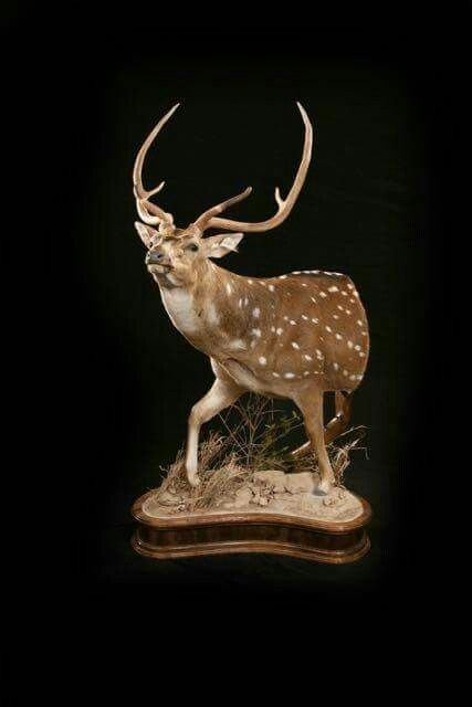 Axis Deer Mount Taxidermy Animal Sketches