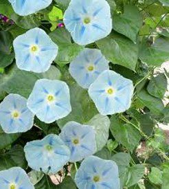 seeds of Morning glory Ismay which has sky blue flowers marked with a deep blue star. Ismay has 3-4 inch large flowers which attract hummingbirds. This Ipomoea Tricolor has heart shaped leaf and it makes a wonderful climbing vine which can adorn any structures. Morning glory is considered to be an annual plant; however, it readily self-sows and reseeds itself the following spring from its own flower seed.