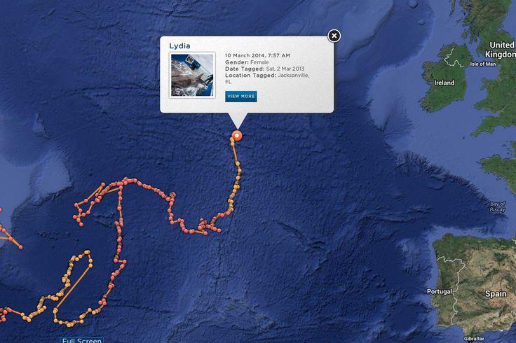 Great white shark UK-bound as Lydia heads towards Cornish coast