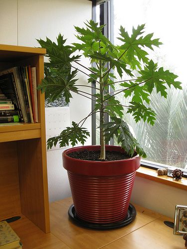 indoor fruit trees- dwarf papaya tree