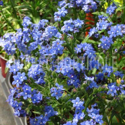 image de Anchusa capensis Blue Angel