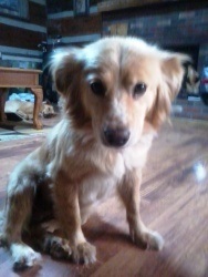 This is Betty Davis and she is an approx 2 year old Golden mix. She has completed heartworm treatment and is ready for a forever home. She rides well in a car, is potty trained, up to date on vaccinations, good with other dogs and kids but has not been cat tested. She is looking for a forever home and is at Golden Retriever Rescue of Southern Maryland.