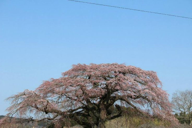 飯崎のしだれ桜 南相馬市小高区  https://www.facebook.com/yumesoso.jp/timeline/story?ut=43&wstart=1388563200&wend=1420099199&hash=-8193251070120674479&pagefilter=3