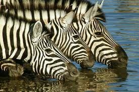 Oh... to see zebra's on an African safari