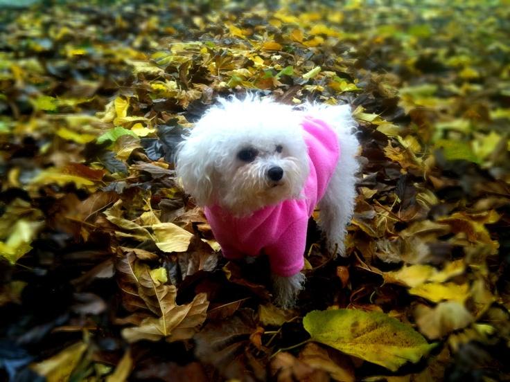 Výsledek obrázku pro puppy bolognese in dog coat