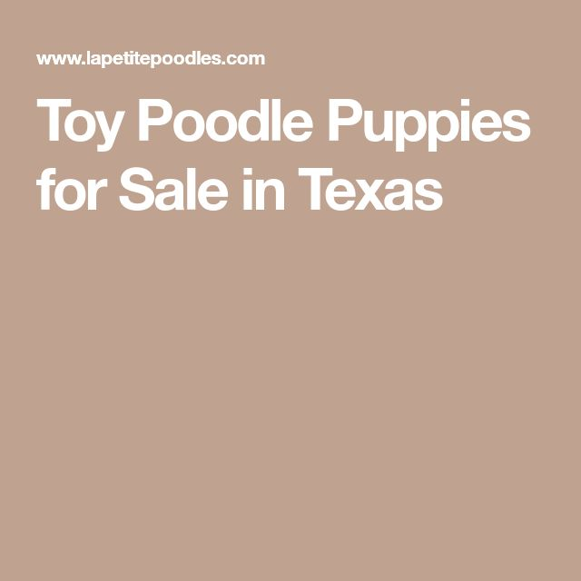 Toy Poodle Puppies for Sale in Texas