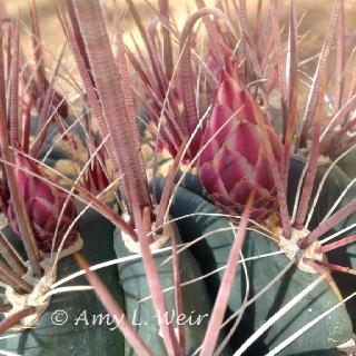 'Fish Hook' Cactus