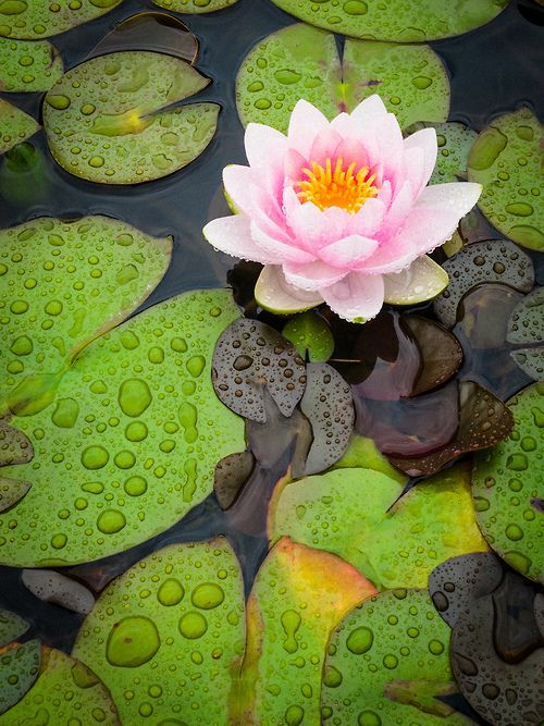 """theopenlotus: """" """"You cannot grow lotus flowers on marble. You have to grow them on the mud. Without mud, you cannot have a lotus flower. Without suffering, you have no ways in order to learn how to be..."""
