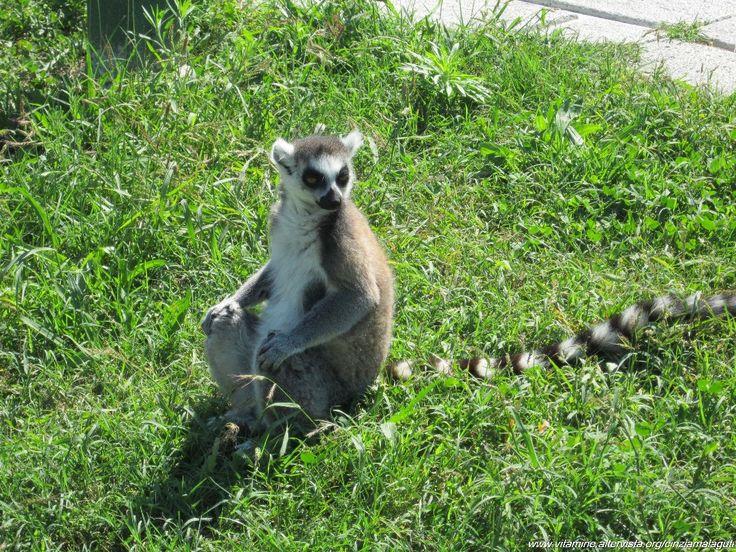Lemure in Safari Ravenna Park, Italy
