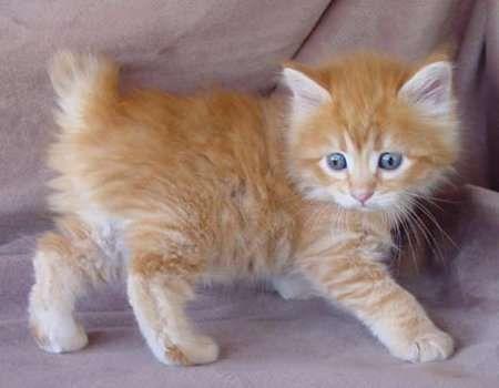 Cymric Kitten